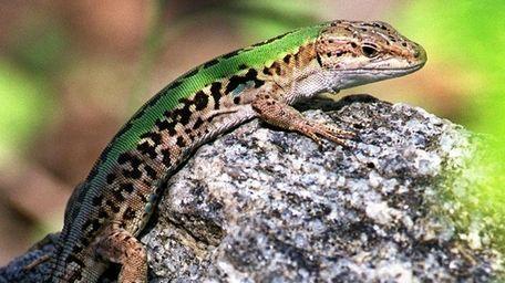A ruins lizard, or wall lizard, at the