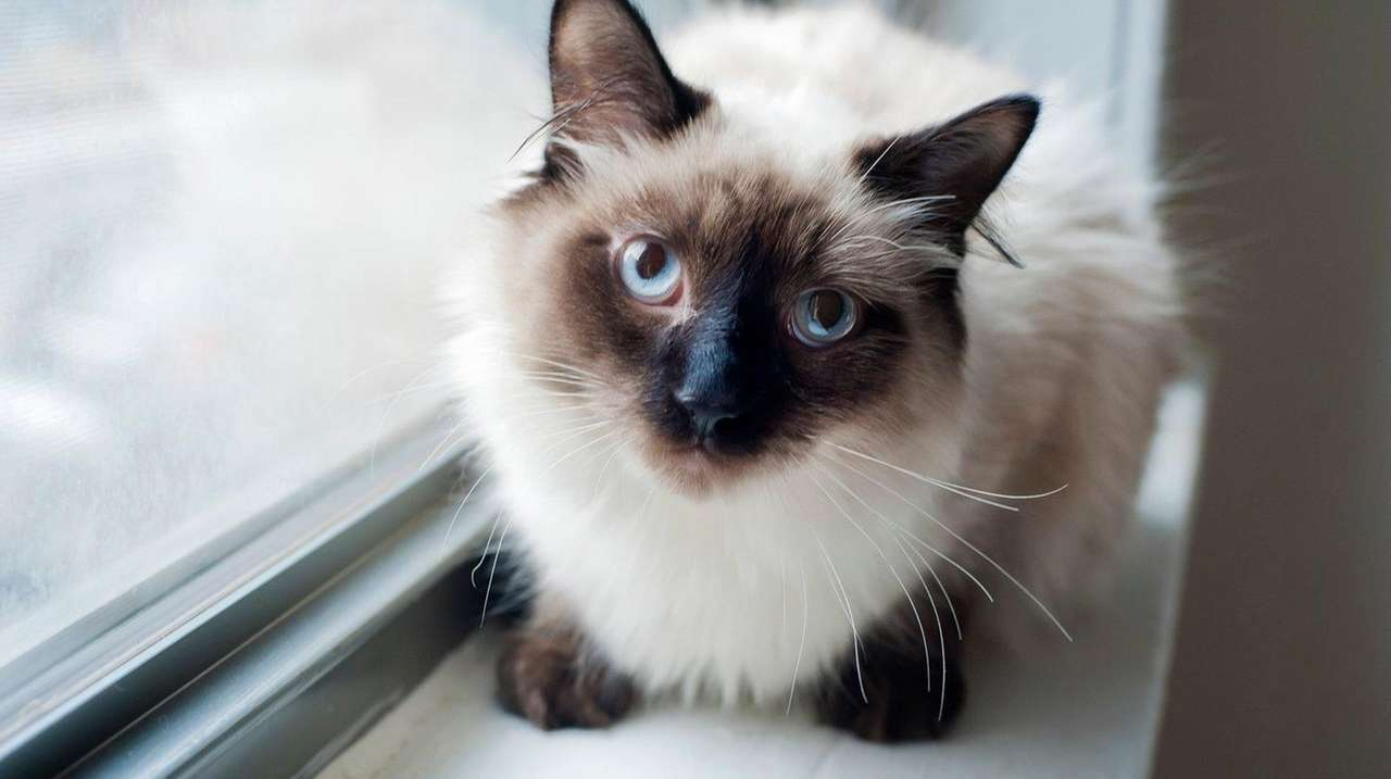 Siamese Cat S Hair Stands Up Along Her Spine Newsday