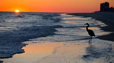 A blue heron walks along the beach at