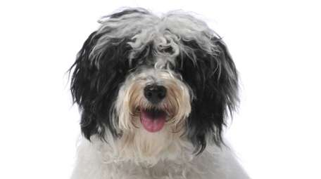 Havanese dogs are intelligent and trainable.