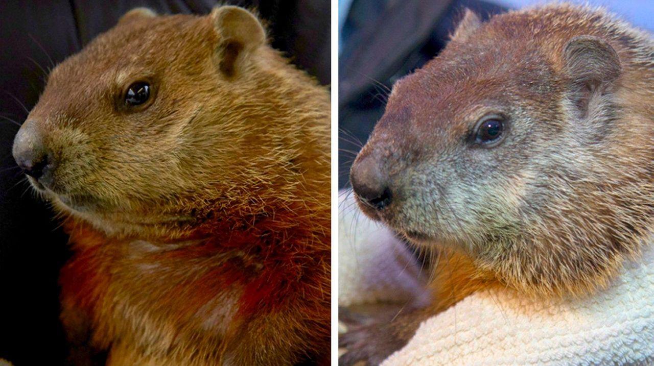 Groundhogs Holtsville Hal, left, and Malverne Mel emerged