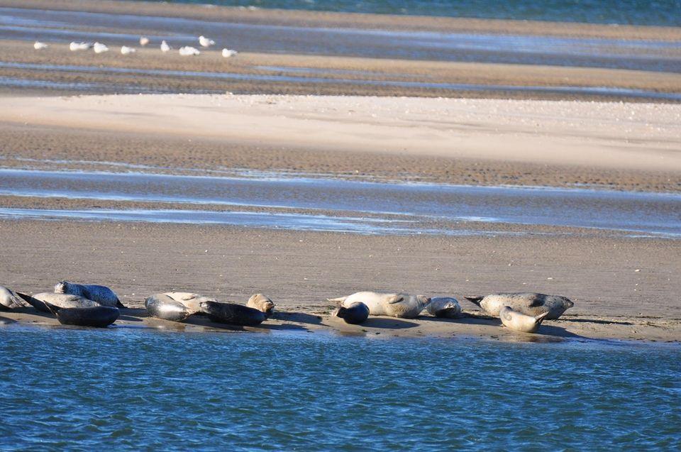Seals sunbathing in the wind on a sandbar