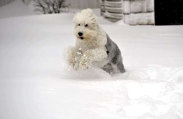 Buddy, an Old English sheepdog, prances through the