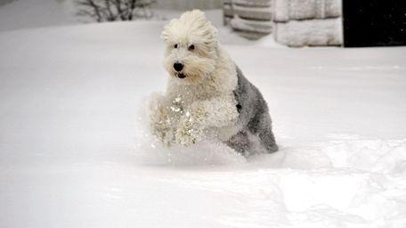 Buddy, an Old English sheepdog, prances through the