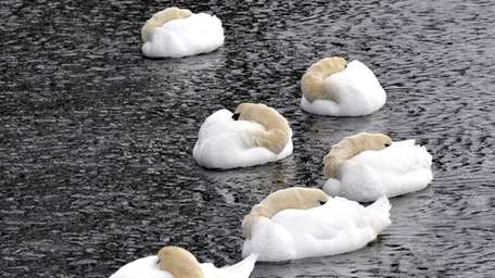 Geese curl up to keep warm as they