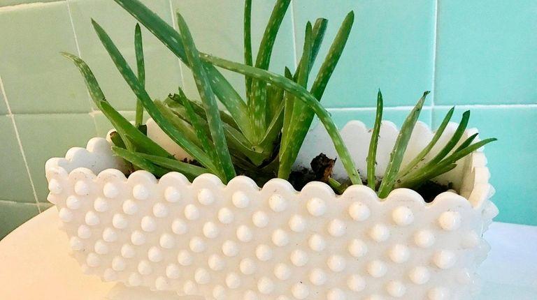 Aloe vera can thrive in a bathroom.