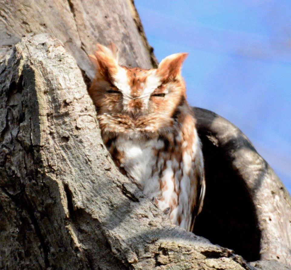 Eastern Screech Owl 2/8/18 Massapequa Preserve