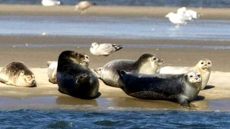 Harbor seals at Cupsogue Beach County Park in
