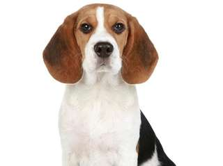 An otherwise loving beagle tears up everything in