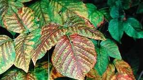 Poison ivy turns yellow, red and orange in