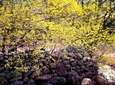 Forsythia blooms over a wet stone wall, a