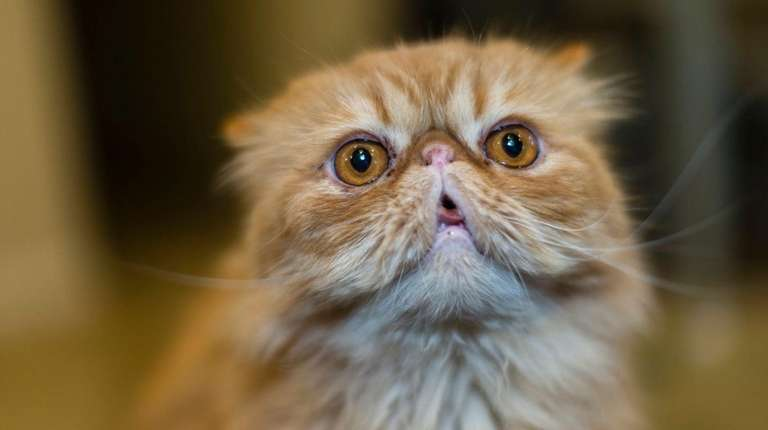 Chase, a tabby Persian from Island Park, will