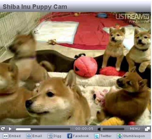 Shiba Inu Puppy Cam America spent hours watching