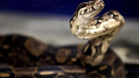 A boa constrictor sits in a cage during