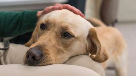 Meyers, a year-old golden lab mix, follows the