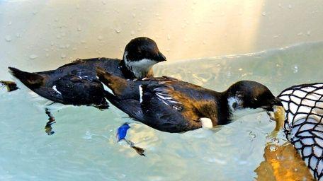 Dovekies swim at the Wildlife Rescue Center of