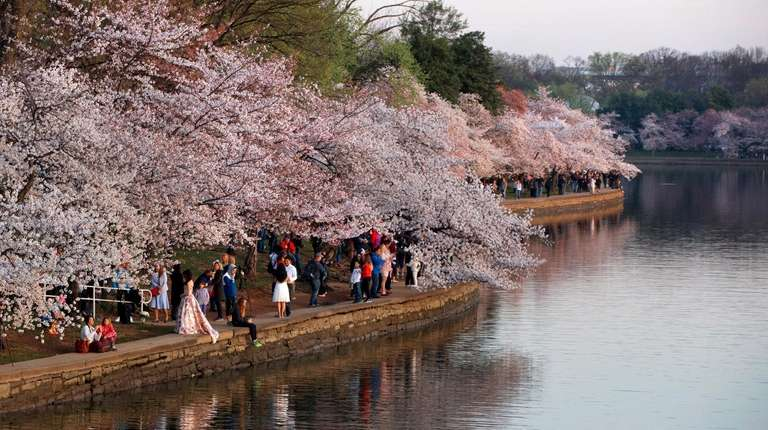 People watch the sunrise with cherry blossom trees
