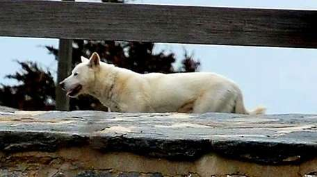 The 'ghost dog' of Fire Island will be