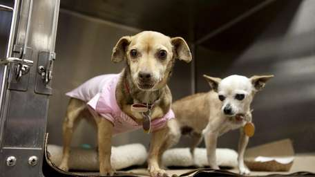 Portia, left, a chihuahua dachshund mix, and Rosebud,