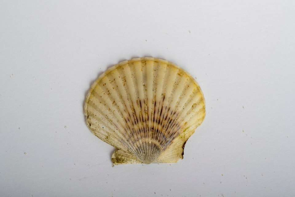A scallop shell is among objects found along