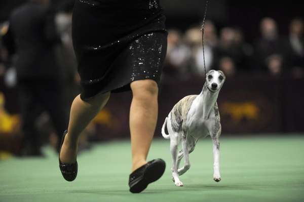 Chanel, a two-year-old whippet, wins the hound group
