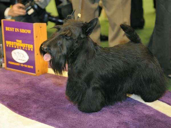 Scottish Terrier Sadie poses for the press after
