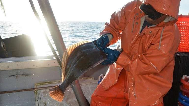 A commercial fisher sorts fluke on the Long