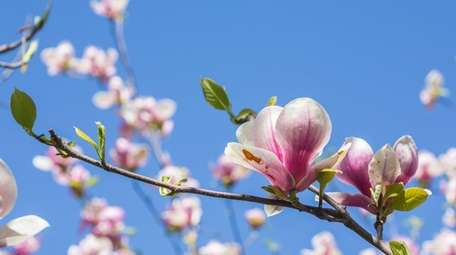 Among the blossoming trees in April are the