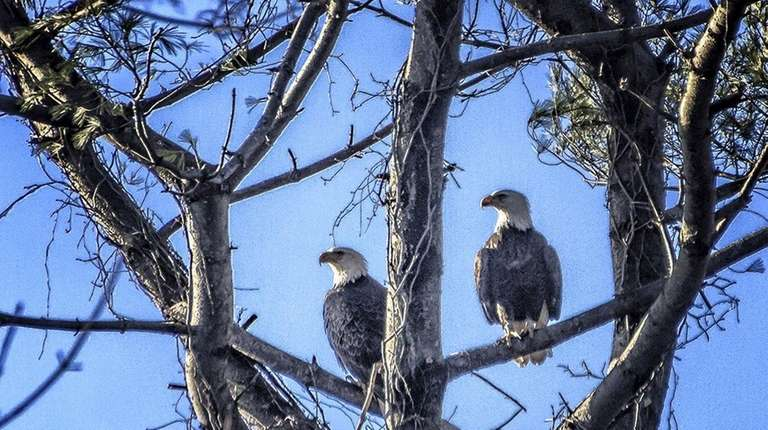Two bald eagles nest in a tree on