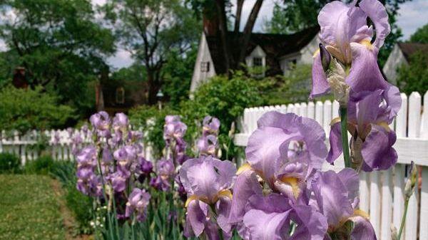 Irises from Williamsburg's Three Seasons of Iris Collection.