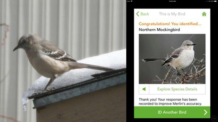 A northern mockingbird was photographed on a ledge