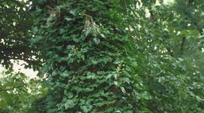English ivy grows quickly and can suffocate, starve