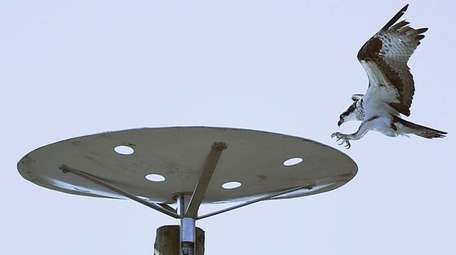 An osprey lands on a nesting platform installed