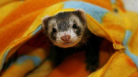File photo of a ferret.