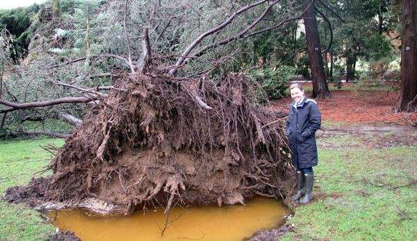 A Blue Atlas Cedar that was uprooted at
