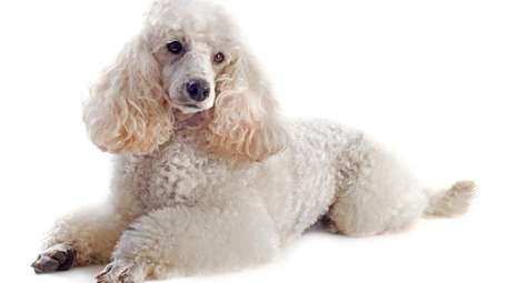 The poodle's aggression is an attempt to control