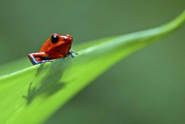 Strawberry poison dart/arrow frog (Dendrobates pumilio) on leaf,