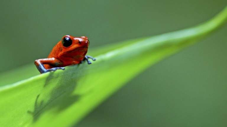 Strawberry poison dart/arrow frog (Dendrobates pumilio) on leaf,