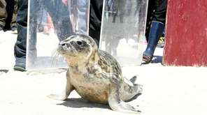 On Sunday, Strawberry, a rehabilitated female gray seal