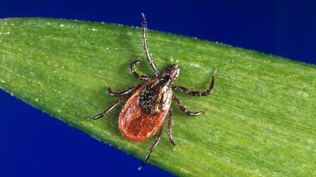 A deer tick rests on a plant in