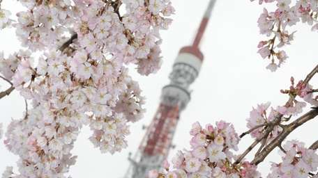 The Tokyo Tower is seen behind cherry blossom