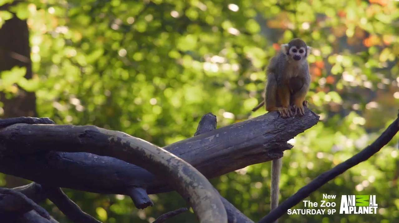 Meet the squirrel monkeys of the Children's Zoo