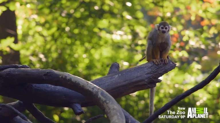 Meet the squirrel monkeys of the Children's Zoo