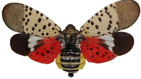 Pinned spotted lanternfly adult with wings open.