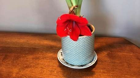 Stunted amaryllis stems usually are caused by excessive