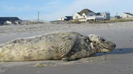 Nassau County police found a seal on East