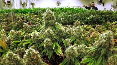 Marijuana plants a few weeks away from harvest