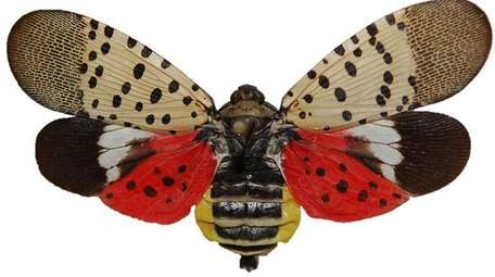 Pinned spotted lanternfly adult with wings open. Note