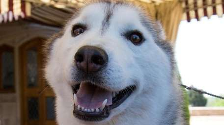 Squishy, a Siberian Husky from Patchogue.