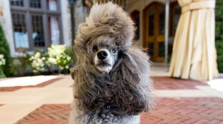 Star, a miniature poodle from West Hempstead.